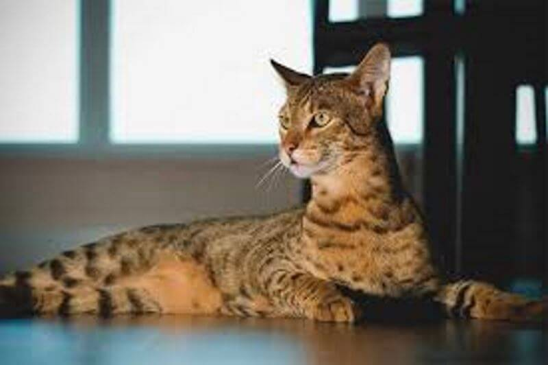 ashera cat breed