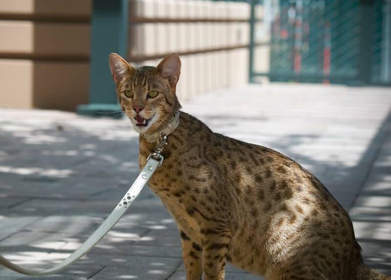 ashera cat care
