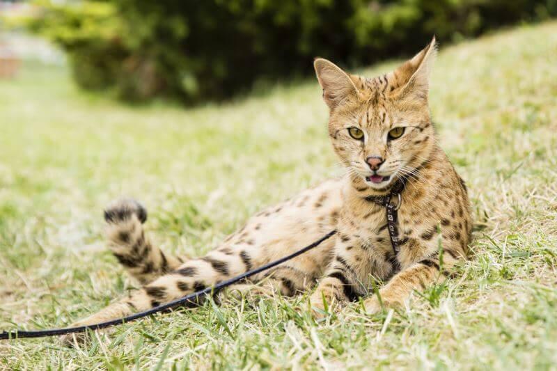 ashera cat characteristic