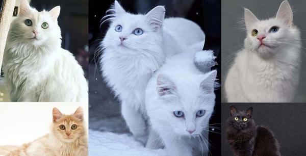 Turkish Angora cat: Breed Personality, Behavior Facts and ...